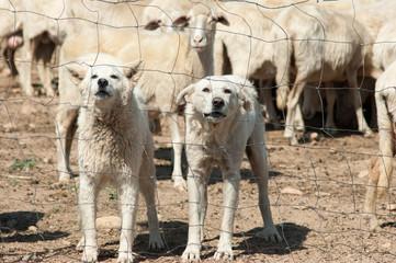 white sheepdogs