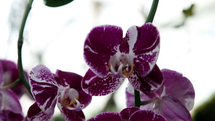 Beautiful purple orchid's blossom