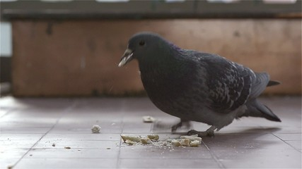 Eat a pigeon in