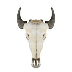 Cow skull with horns on white