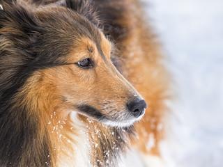 Hund (Shetland Sheepdog)