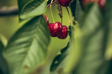 Summer Cherries