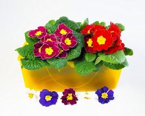 Primeln und Blüten