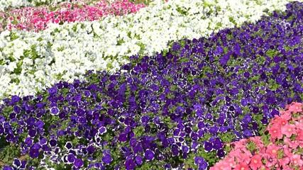 Petunia flowers on flowerbed