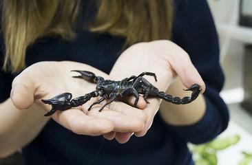 Black scorpion in hands of brave girl