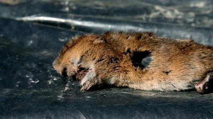 Hamsters body lying on plastic bag
