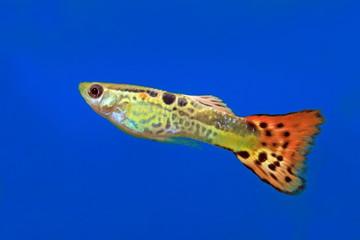 Aquarian fish of the guppy