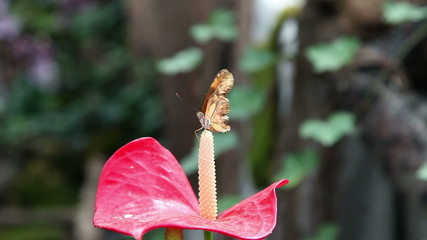 A small brown butterfly on a tip of an exotic red flower