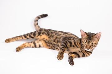 кошка сафари (жоффруа)