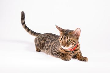 кошка жоффруа (сафари)
