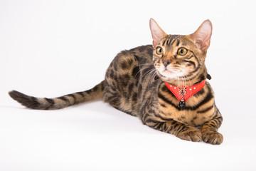 Кошка сафари жоффруа
