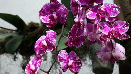 Beautiful violet orchid's blossoms in close up
