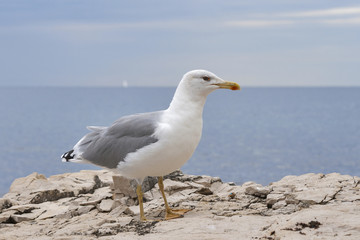 Seagull standing on sea stone