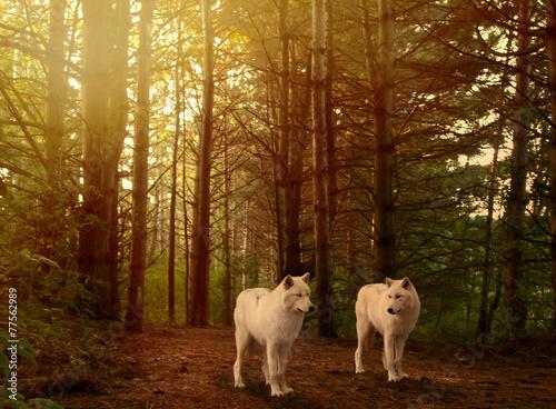 Deurstickers Wolf wolves in woods