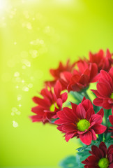 beautiful red flowers of chrysanthemum