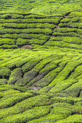 Detail of Tea Plantation-Cameron Highland,Malaysia