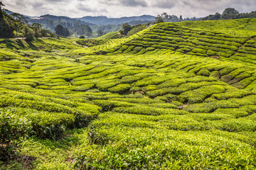 Green Tea Plantation-Cameron Highlands, Malaysia