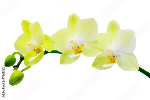 White-yellow orchid on a white background - 77565562