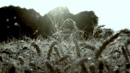 closeup shot of wheat field in the evening sun