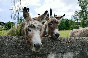 Neugierige Esel auf der Wiese - Italien