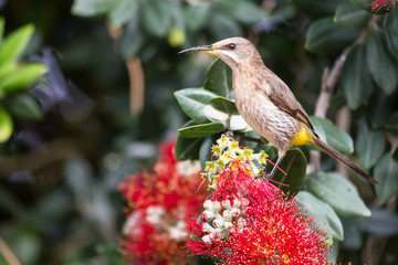 Cape sugar bird looking for nectar in red flowers of bottle brus