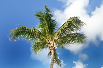 Single Coconut tree with sky background