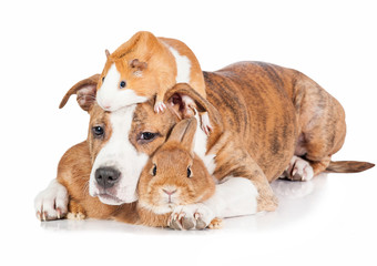 Friendship of little puppy with rabbit and guinea pig