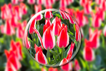 Crystal ball with red-white tulips in flowers field