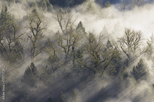 Sun Rays Beaming Through the Mist in Forest - 77572725