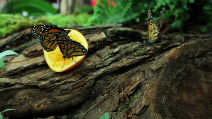 Colorful butterflys eatinf orange fruit placed for them in garden