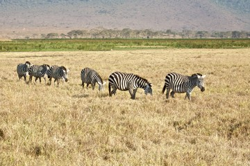 Fila di zebre