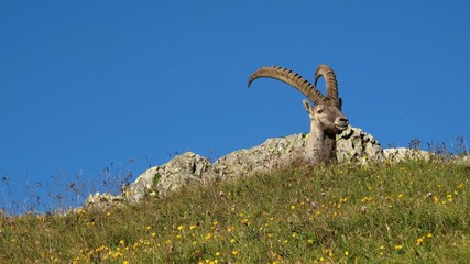 Male alpine ibex resting on a mountain meadow