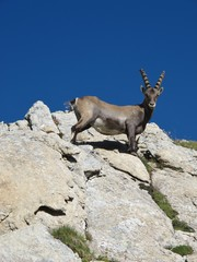 Curious young alpine ibex looking down
