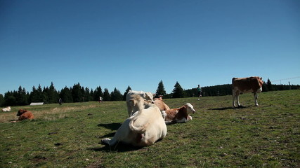 HD1080p: Young woman running amongst cows on a tableland