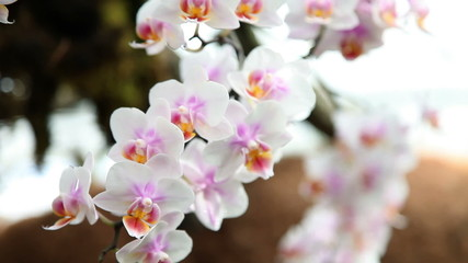 Beautiful orchid is blooming