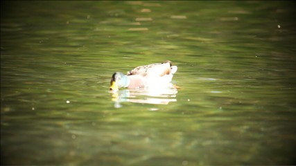 Several ducks swimming in water with color correction