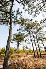 Pine tree in the nature