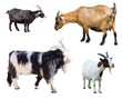 Set of few goats. Isolated over white