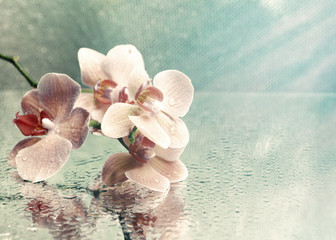 Beautiful blooming orchid on light color background © Africa Studio