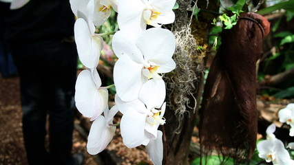 Pan shot of a beautiful white orchid