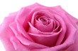 Beautiful pink rose close-up