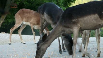 Close up on deer feeding on street