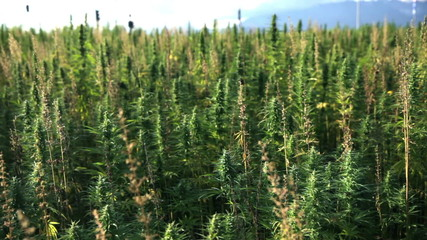 Huge hemp field with cars in background