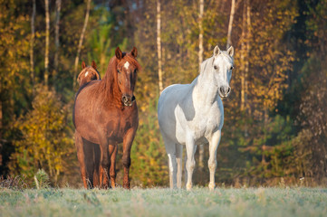 Two horses on the pasture in the morning in autumn