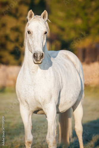 White horse on the pasture - 77591309