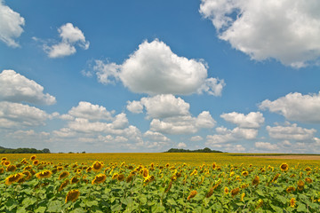 Large field of yellow sunflowers