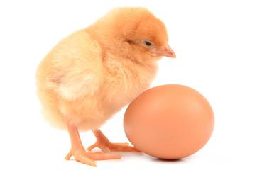 Chicken on a white background