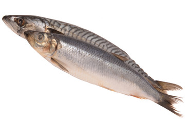 Mackerel and herring on a white background