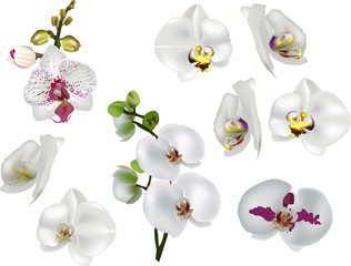 white isolated orchids collection