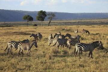 Zebre,parco Masai Mara